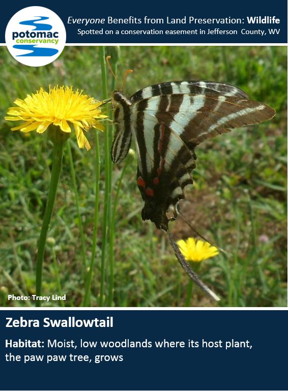 zebra swallowtail full.PNG
