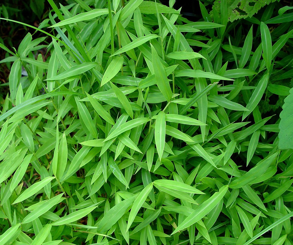 apanese stiltgrass invasive plant