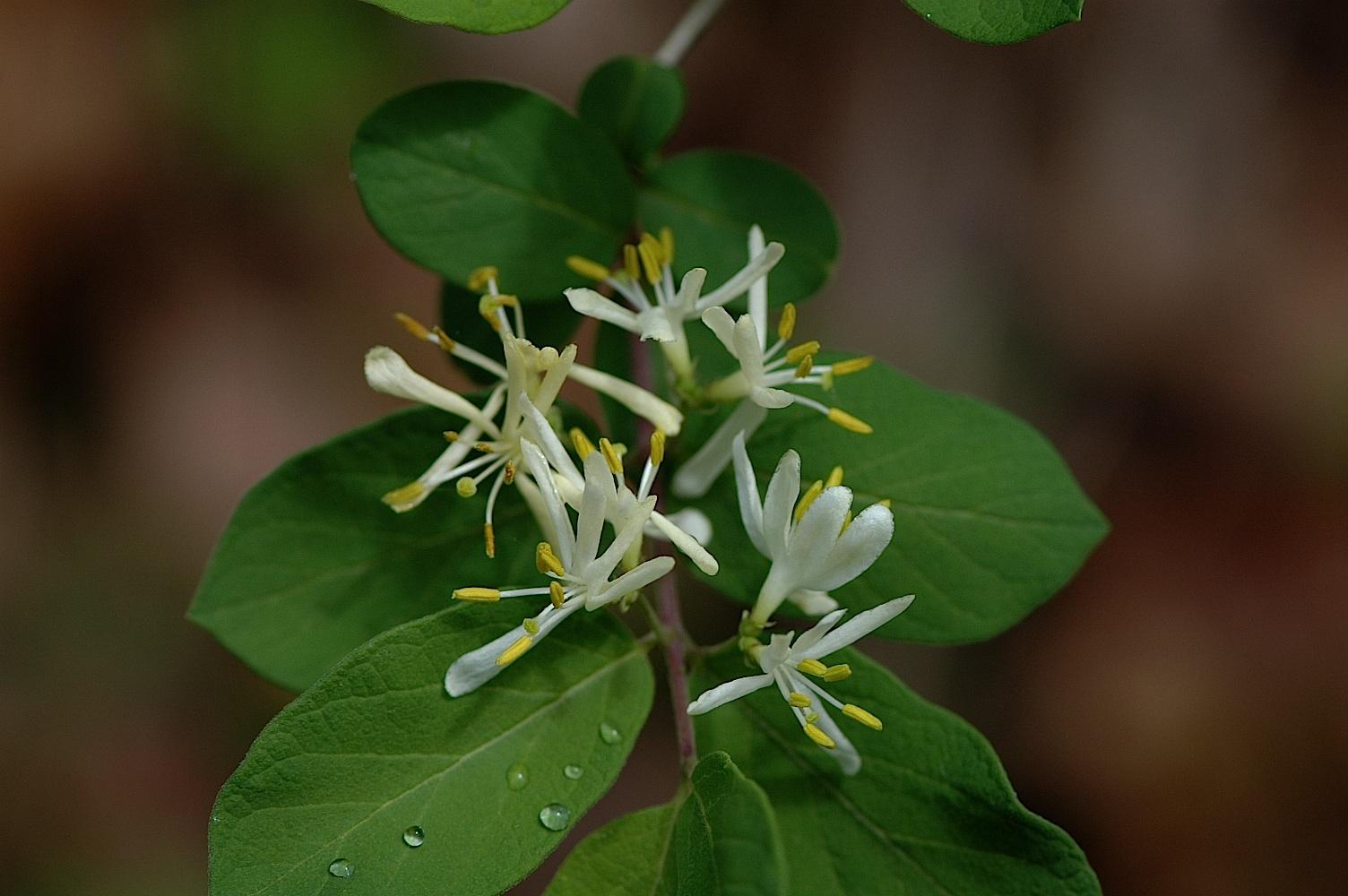 honeysuckle bush, Morrows #2.jpg