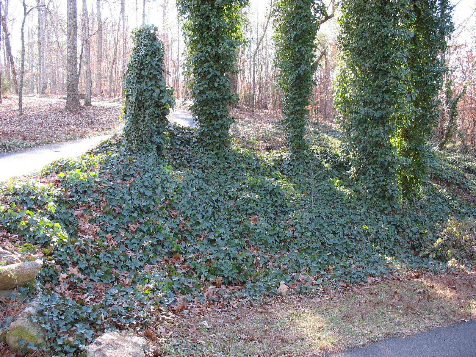 English ivy.jpg