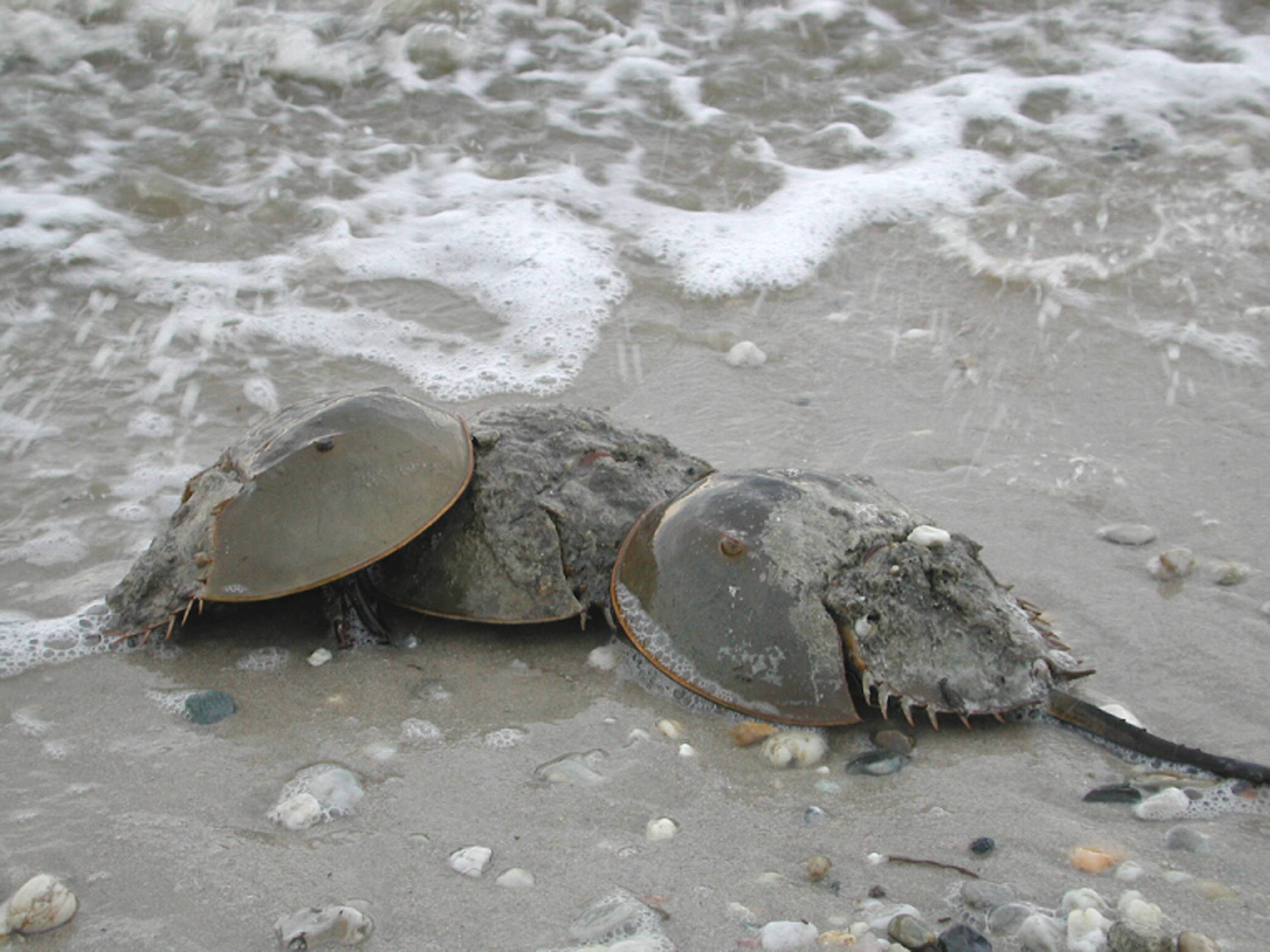 ATlantic Horseshoe crabs ( Limulus polyphemus)  are one of several species making comebacks thanks to cleaner water in the potomac river.