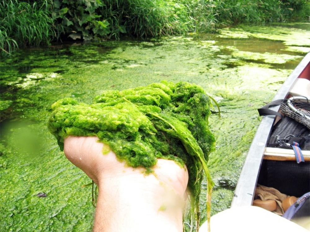Algae bloom on the Shenandoah River. Photo credit: Alan Lehman, Program Manager, Shenandoah Riverkeeper