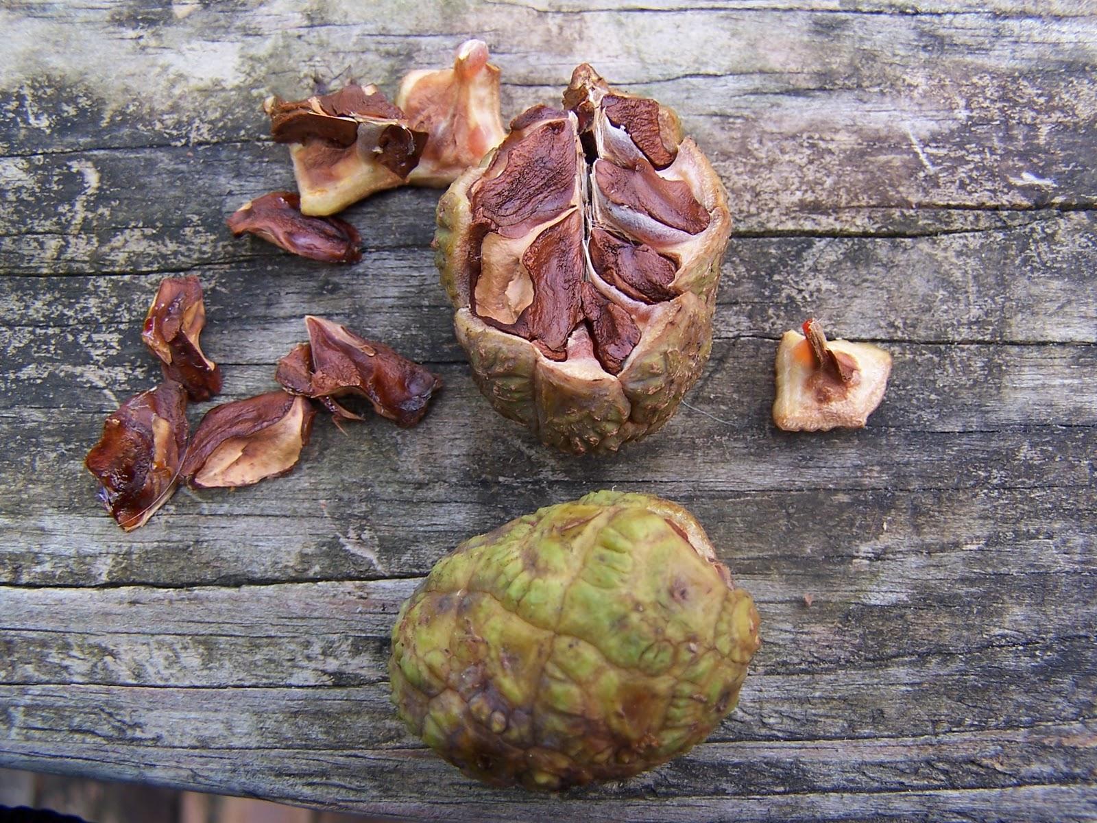 taxodium seed.jpg