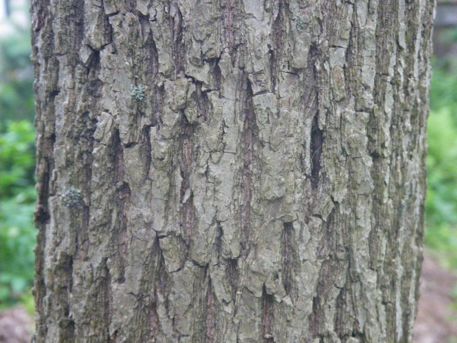 Juglans nigra_Eastern Black Walnut_bark_1_Lexington, MA_20120626_Tom Todd_IMGP0854.jpg