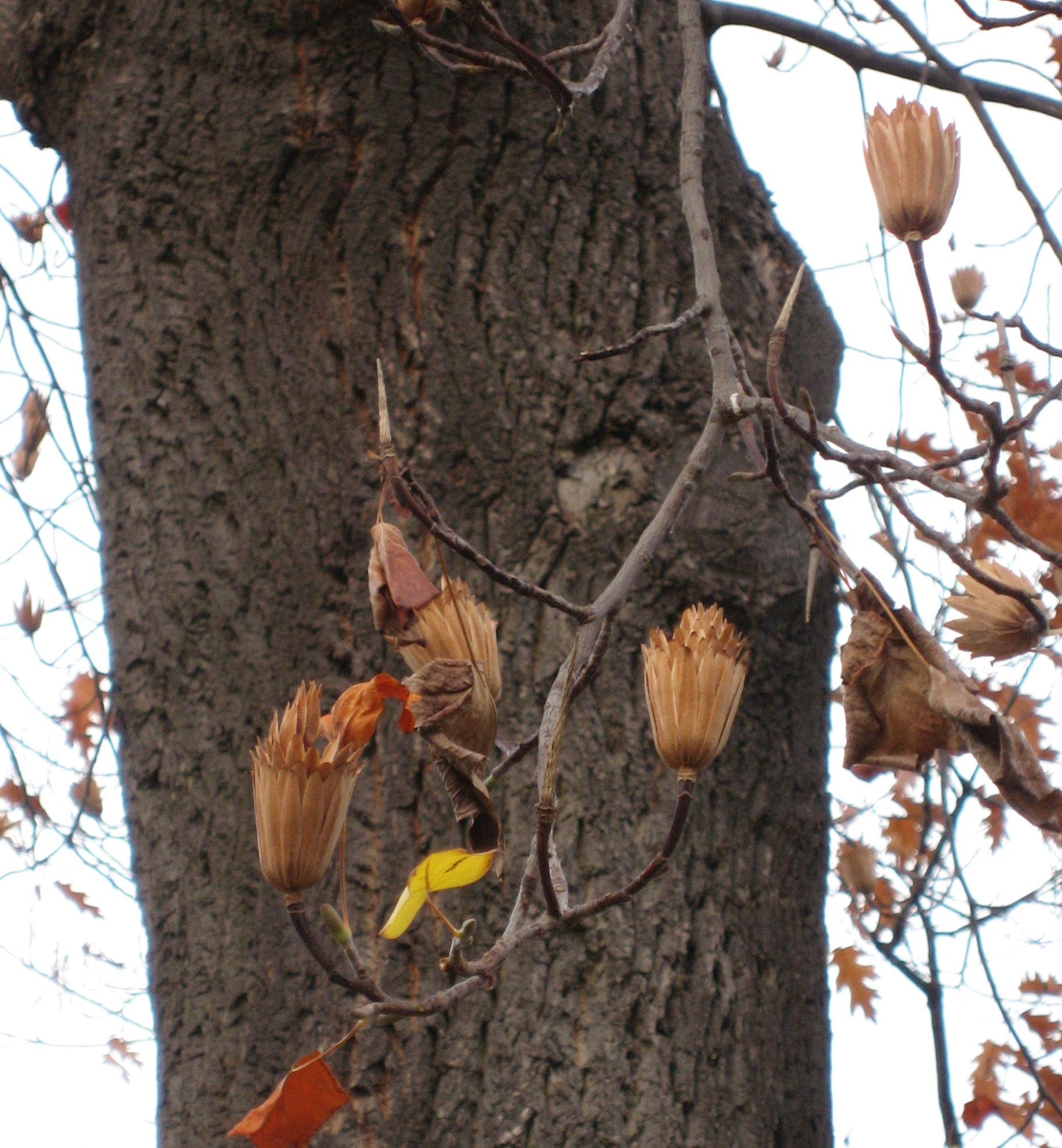 w_tulip_tree_seed.jpg