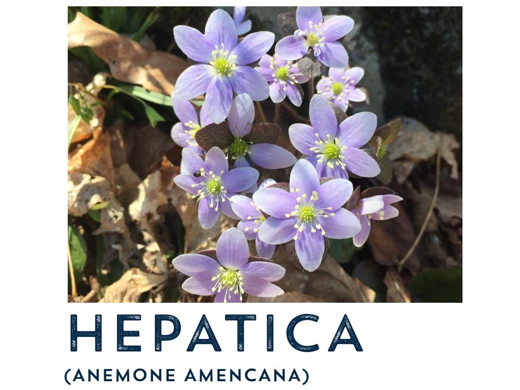hepatica.PNG