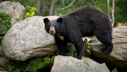 WHM bear.PNG