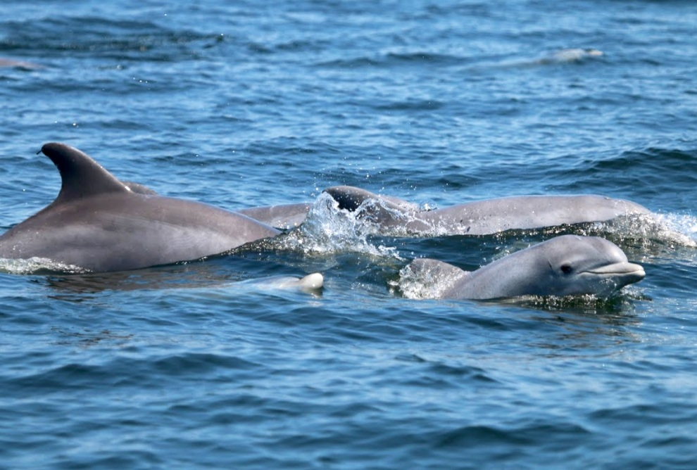 BOTTLENOSE DOLPHINS SWIM WITH THEIR CALVES IN THE POTOMAC RIVER. NMFS Permit No. 19403