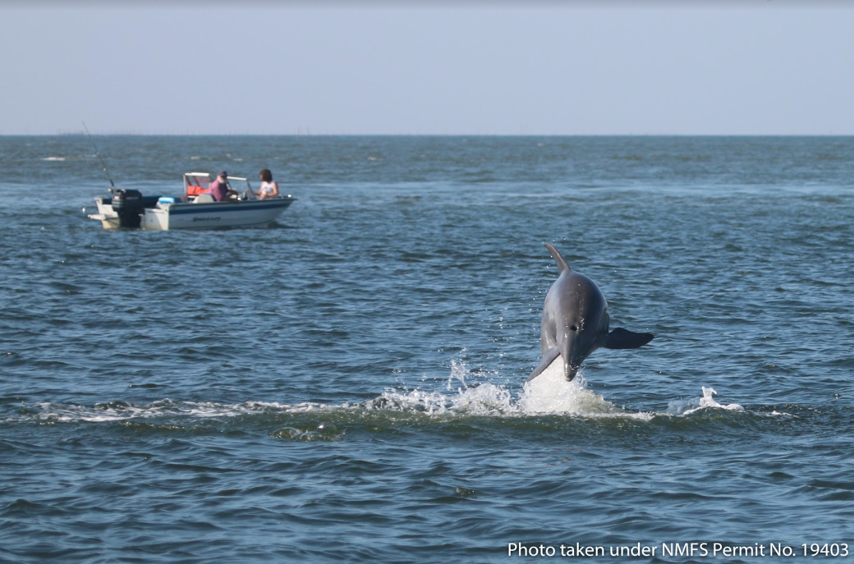 FlIPPING OUT! Photo Courtesy of the  Potomac-Chesapeake Dolphin Project .
