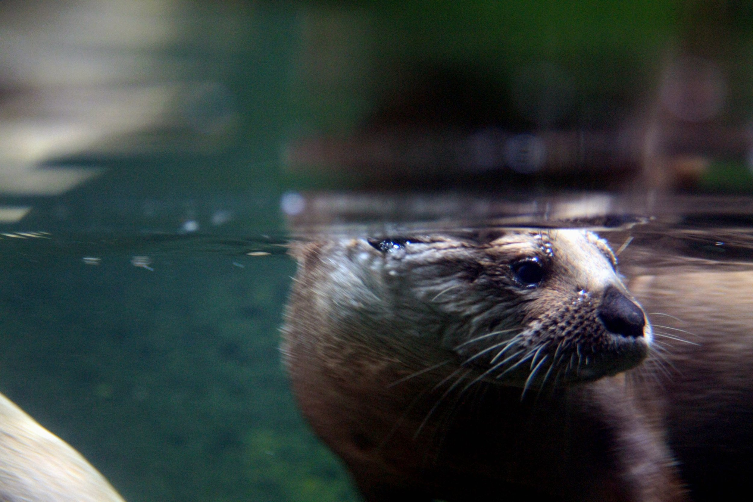 A RIVER OTTER, ThE Species of Otter tHat is Native to the Potomac River. PHoto Courtesy of  GollyGFORCE VIA FLICKR .