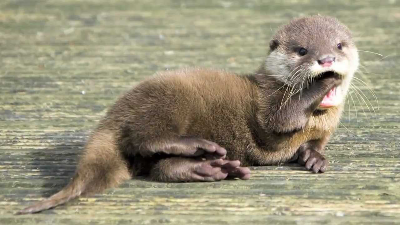 Otter pups  aren't born with swimming skills, they learn from their mothers.
