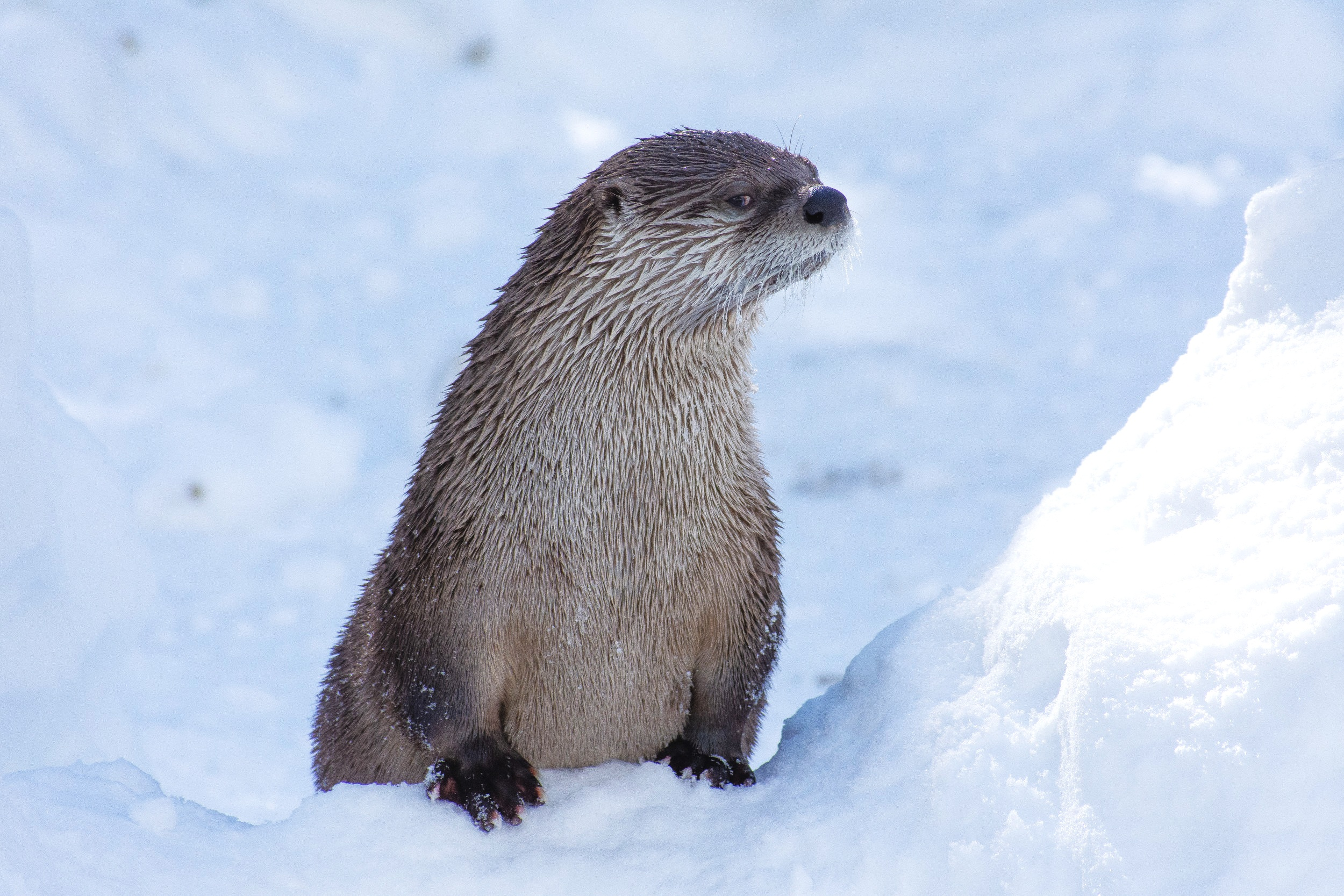 A North American River Otter in WInter. Photo Courtesy of  Jon Nelson .