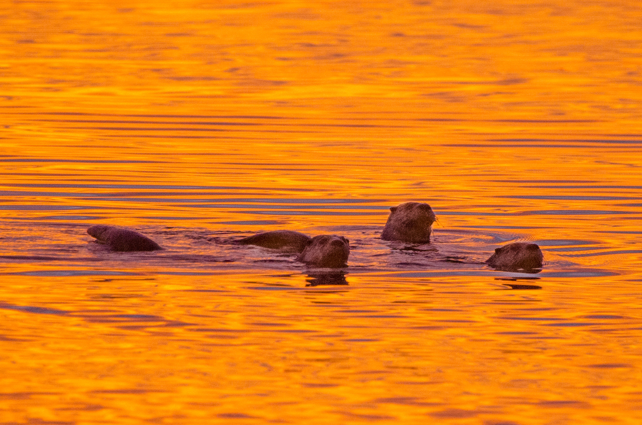 A family of river otters at night. Photo Courtesy of  Tim Brown .