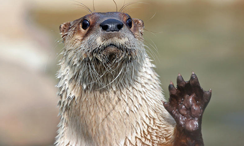 Showing Off Webbed Feet. Photo Courtesy of the  NEw England Zoo.