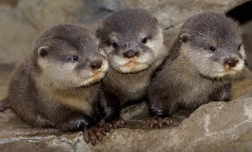 Keep our River clean for OTTER pups! Photo:  FSU Marine Lab .