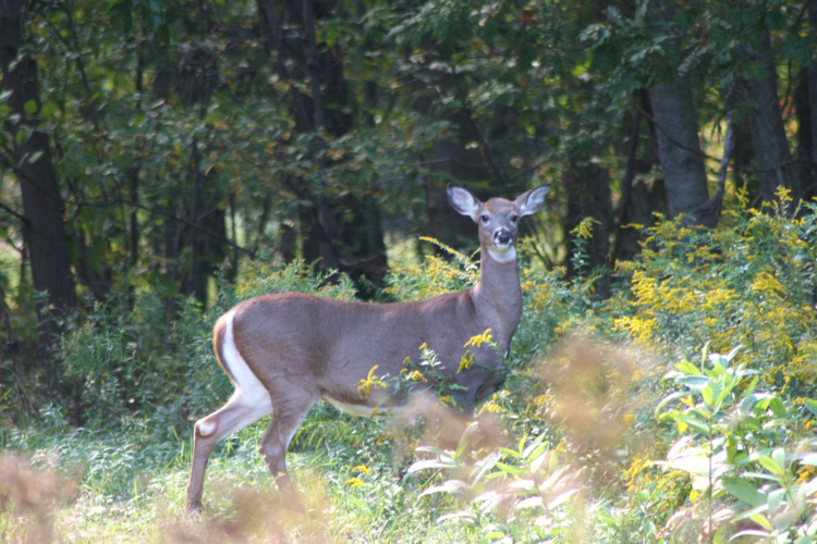 white-tail-deer_USFWS.png