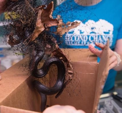 A Black Rat Snake entangled in Garden Netting. Photo COurtesy of SCWC.