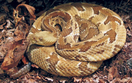 VEnemous snake to watch out for #1: Timber Rattlesnake