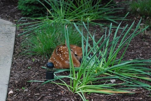 Do not disturb! A doe intentionally left this fawn here until she can return from feeding. Photo Courtesy of SCWC.
