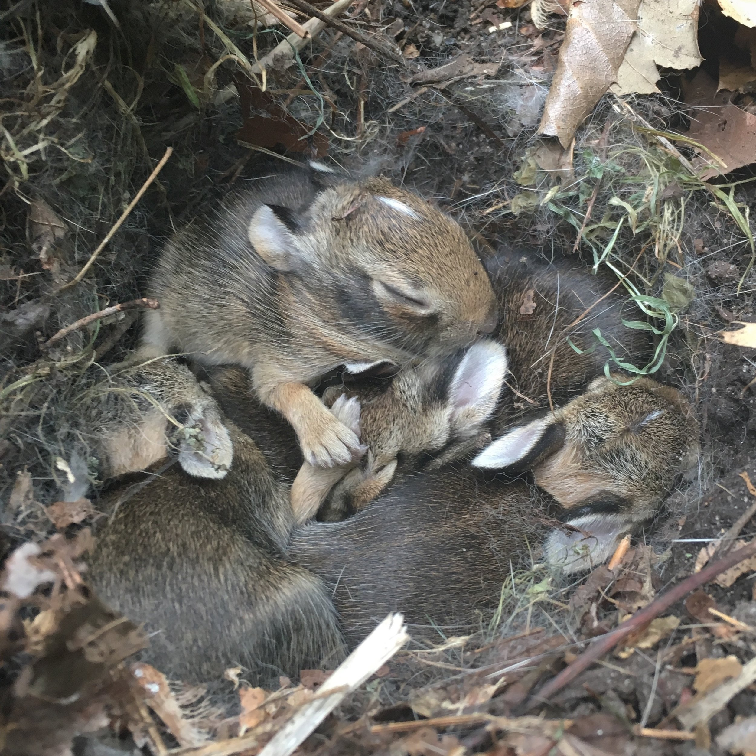 A nest of eastern cottontails. Photo Courtesy of  Kristine Paulus .