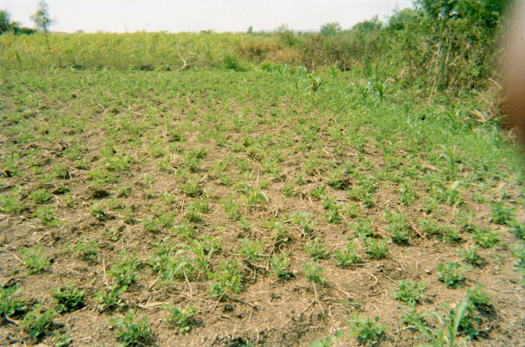 This picture shows my field of corn and peanuts. It can be considered my income generating activity.