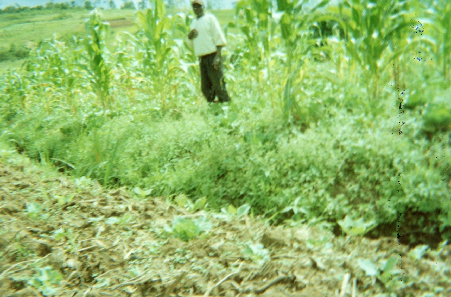 Maize garden: Welcome.