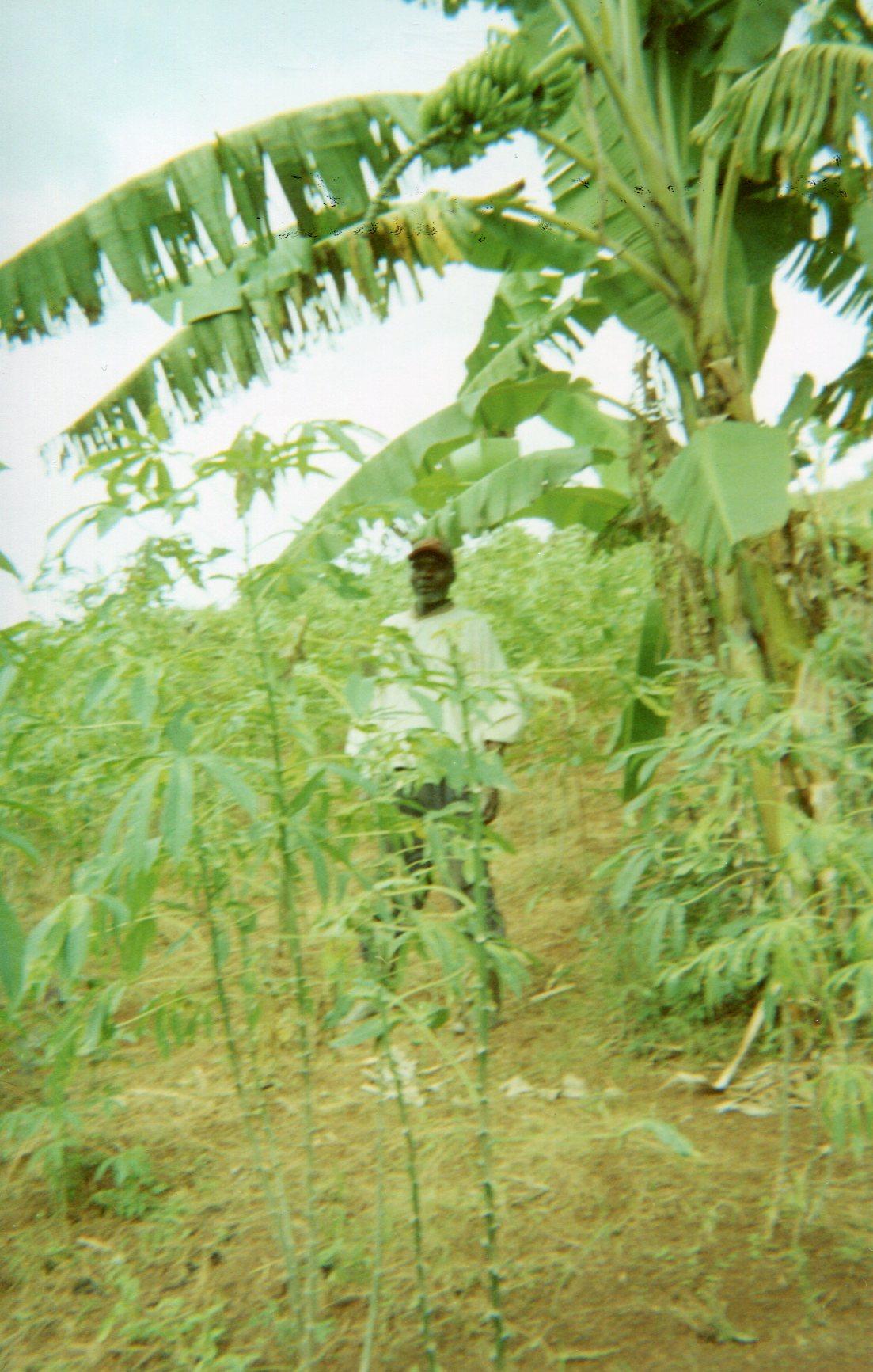 Green banana tree: Hope in life.