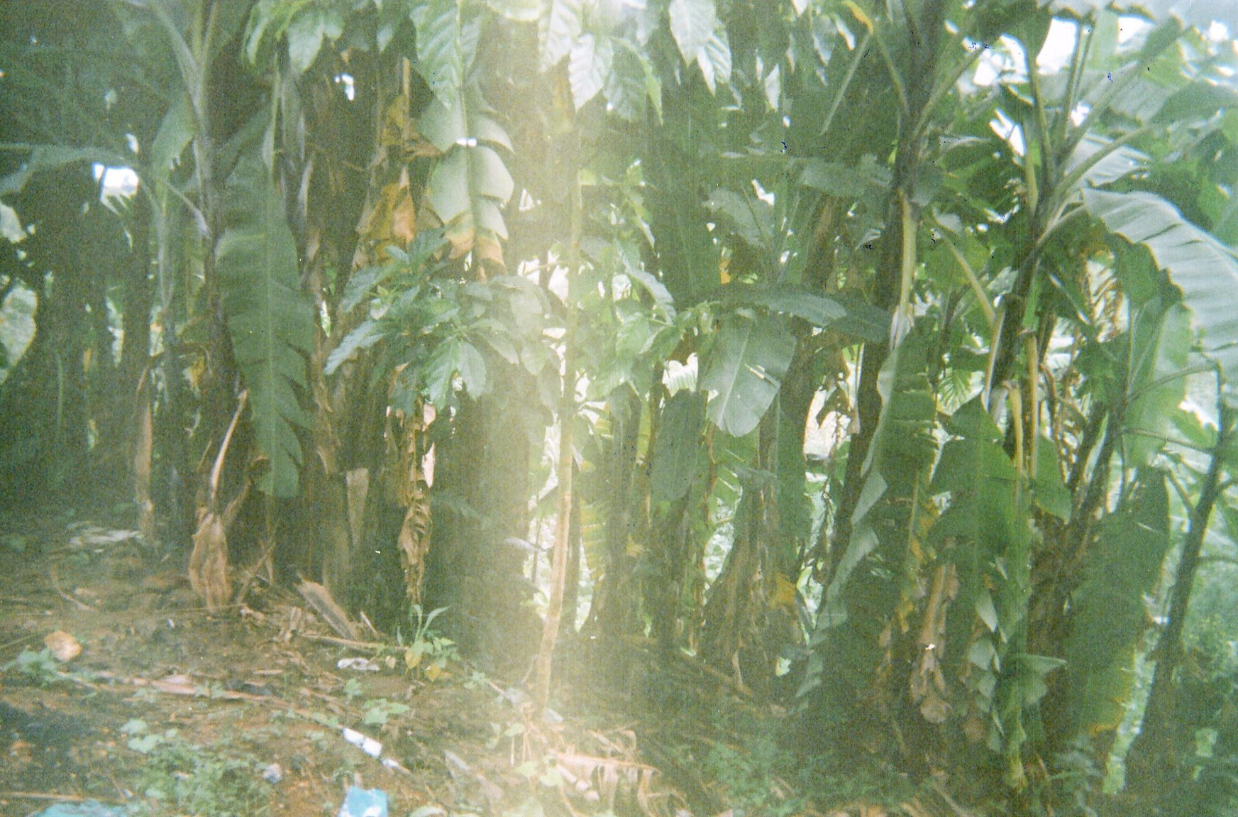 The banana trees are the fruit of our work, it produces food, beer, and construction material.
