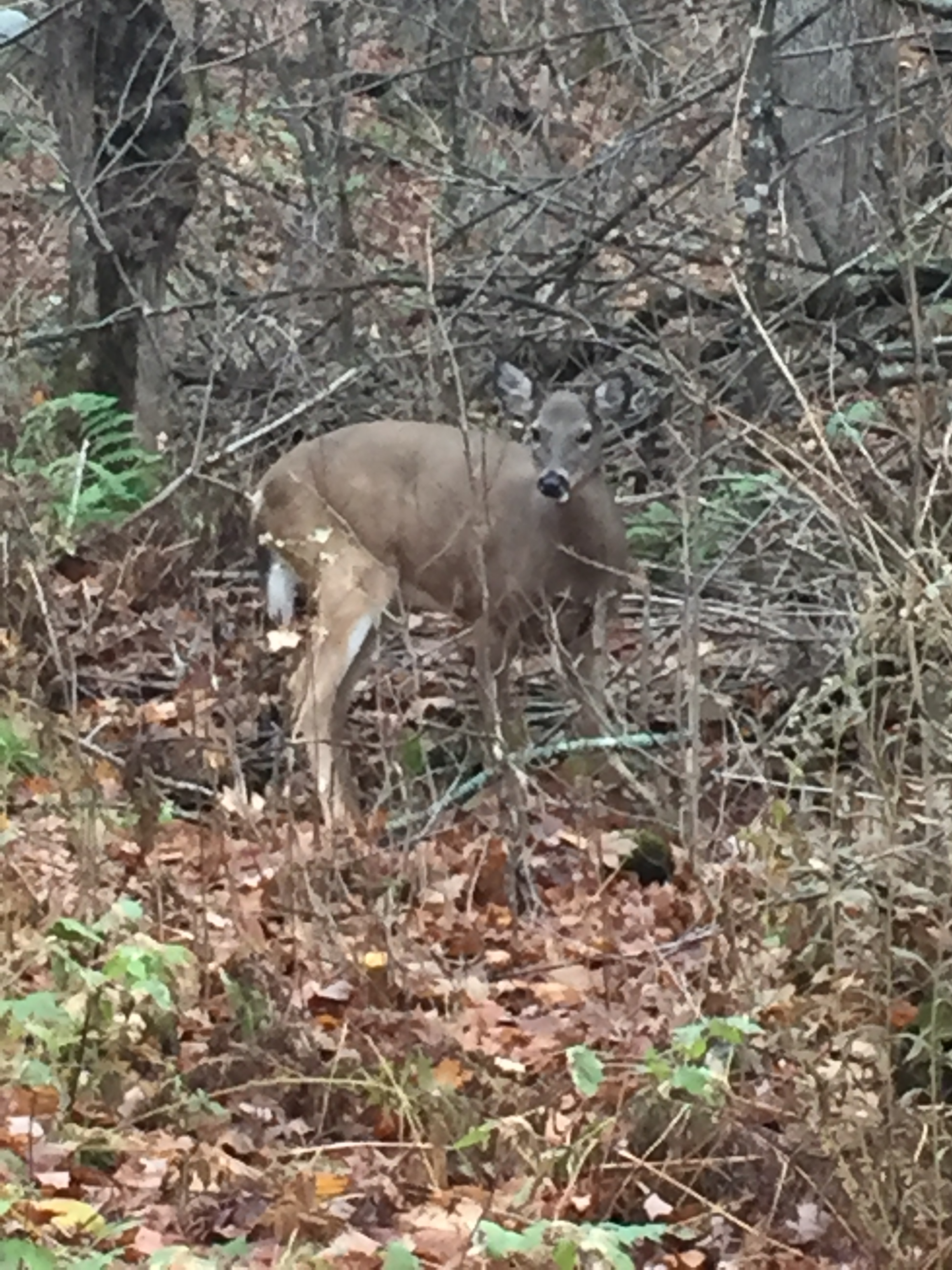 A White-tailed Deer I found while out for a hike.