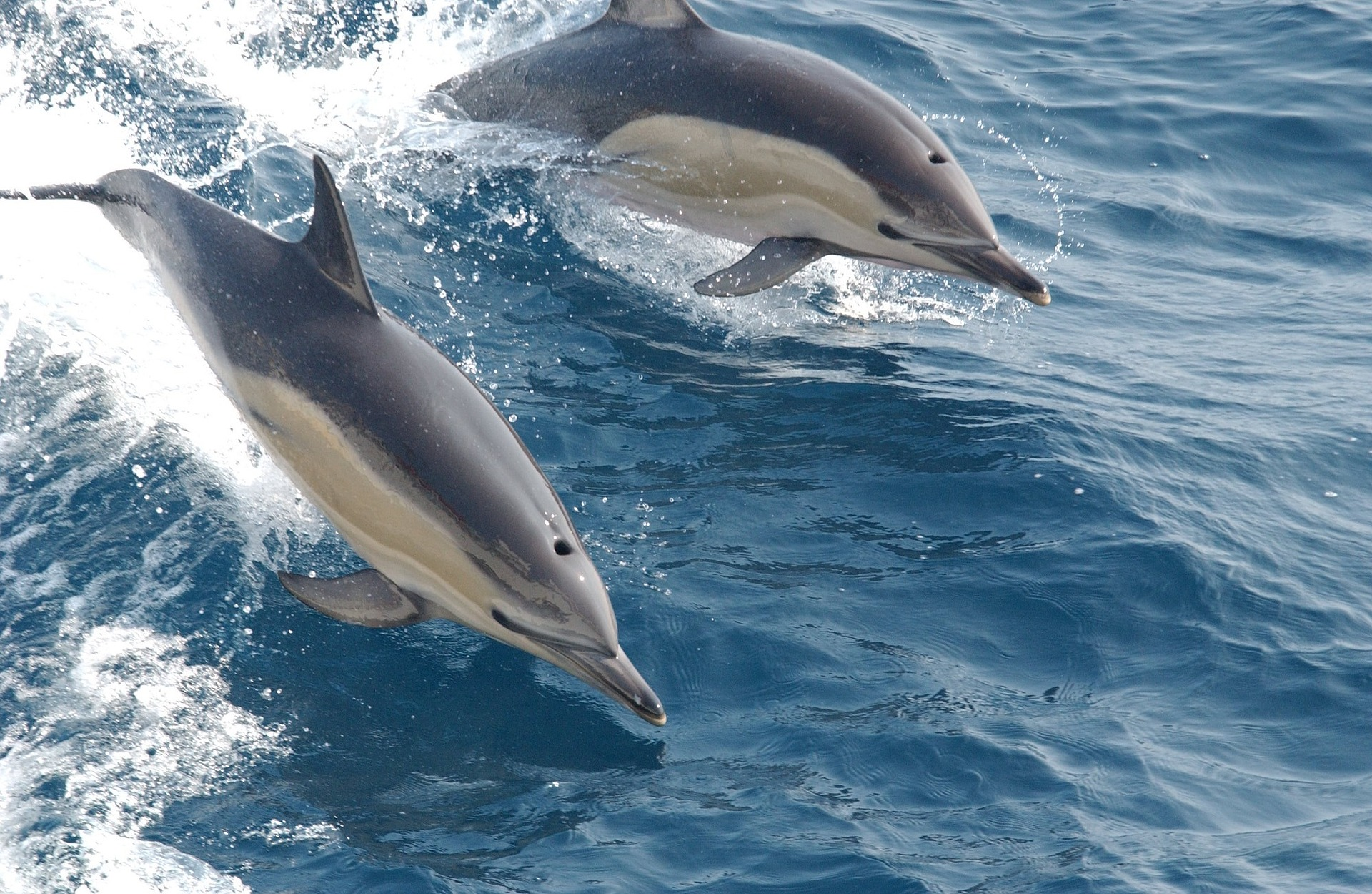 Common dolphins in the wild. This species is less popular for captivity than bottlenose dolphins as they have even more trouble adapting to such a life, but are sometimes still captured. Photo courtesy of pixabay.com