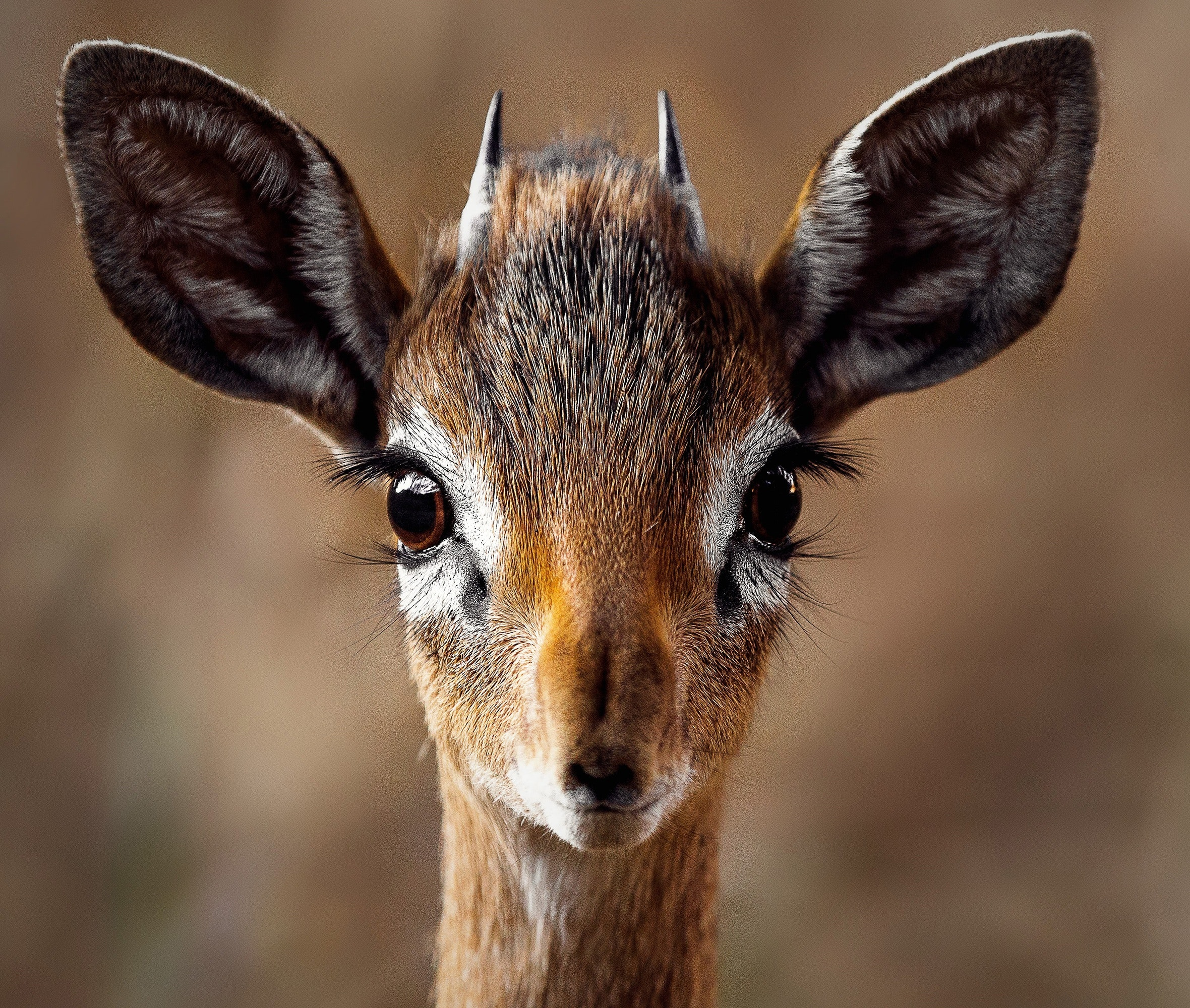 animal-antelope-close-up-257558.jpg