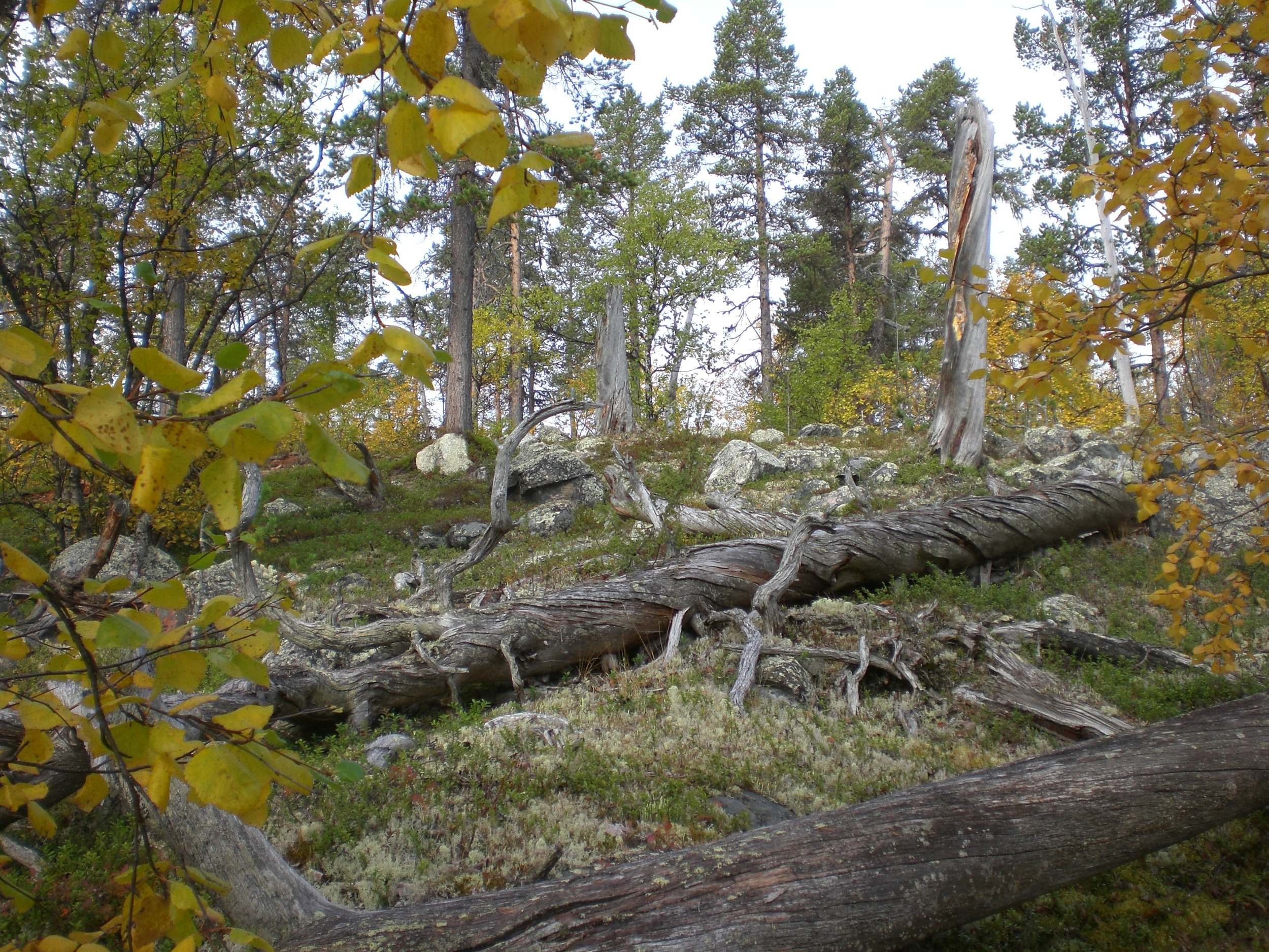 Dead wood in all stages of decay. From the old-growth forest at Basevuovdi in Finmark, the northernmost county of Norway, bordering to Russia.