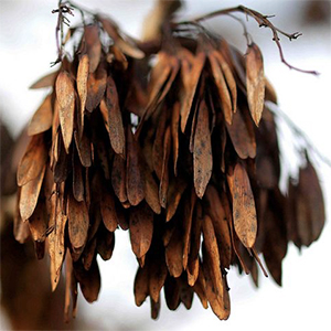Tool §36   The 256 Winged Ash Seeds (Produce 4)