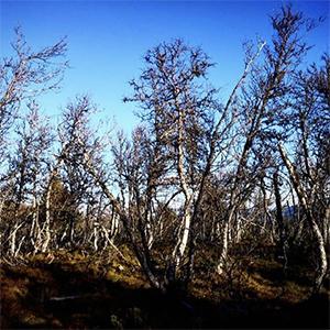 Catalyst #39   The Mountain Birch (Tree 5)