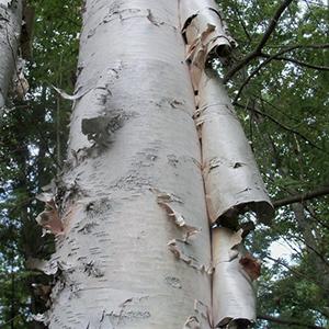 Catalyst #40  The Bark of the Mountain Birch (Produce 5)