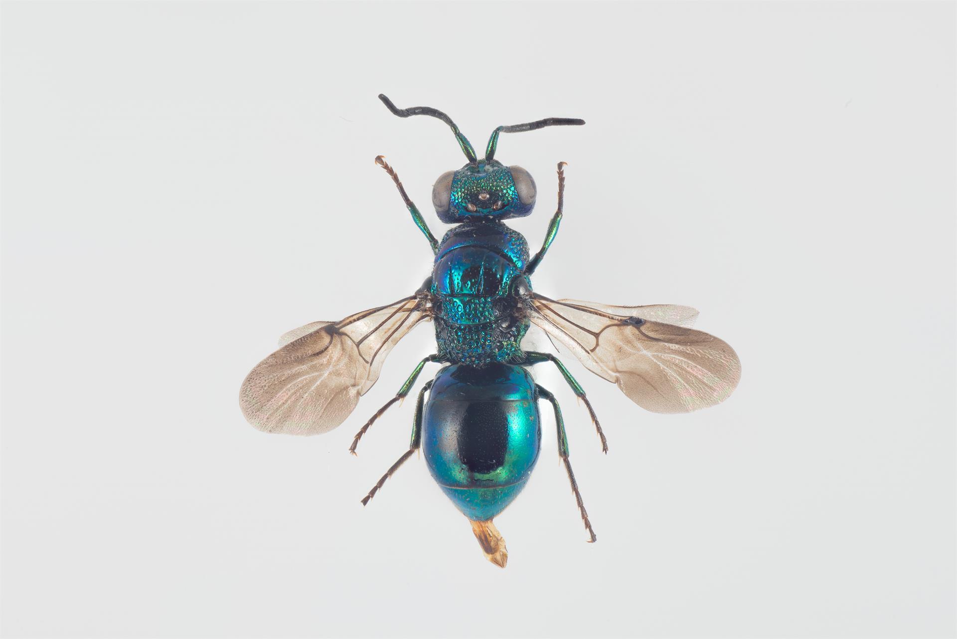 Omalus puncticollis,  Photo: Arnstein Staverløkk, Norsk Institutt for Naturforskning, CC BY 3.0
