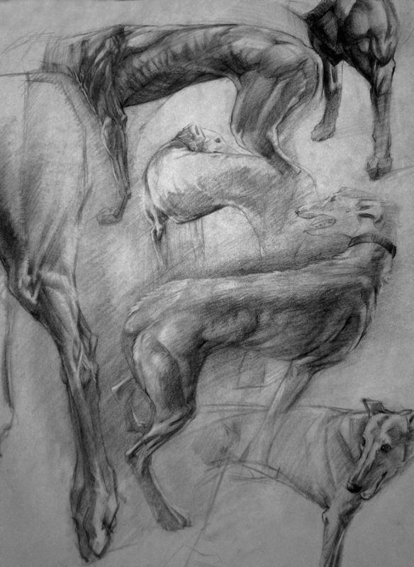 Greyhound anatomy study