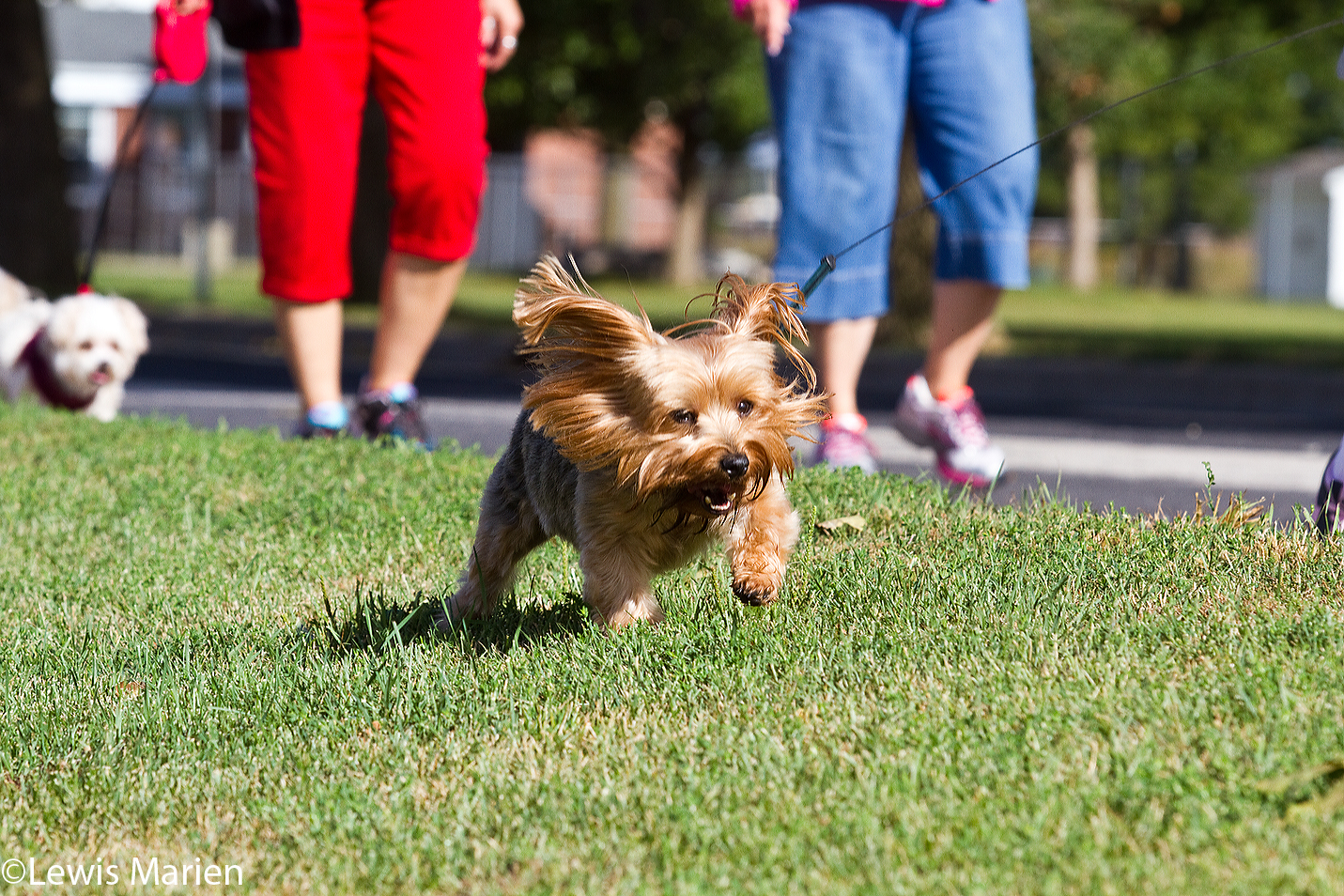 Max, a 7-year-old yorkie, frolics through the grass during the 23rd annual Doggie Jog on Sept. 19 at the Prairieland Animal Welfare Center in Galesburg, Ill.