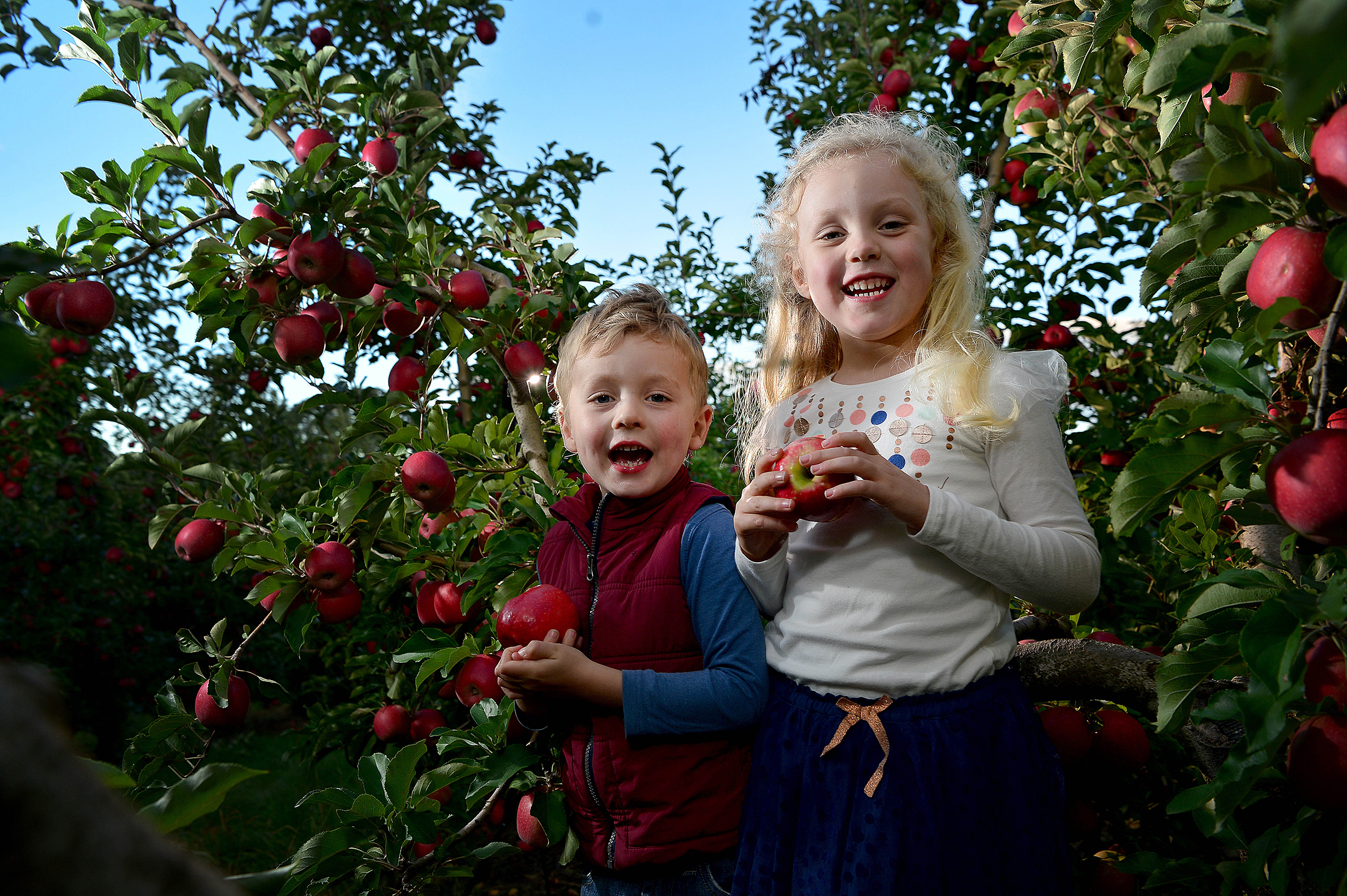 CHP_Export_156858141_Siblings Archie 3 &  Maisie Brockhoff 5 play in amongst the Pink Lady apple tre.jpg