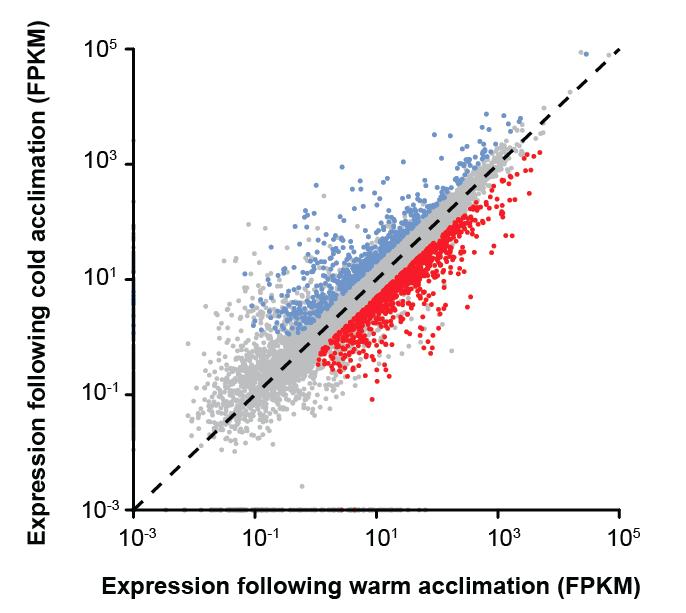 Cold acclimation can massively reorganize the  Drosophila  transcriptome. Figure from  MacMillan et al.  (2016) Scientific Reports 6: 28999.