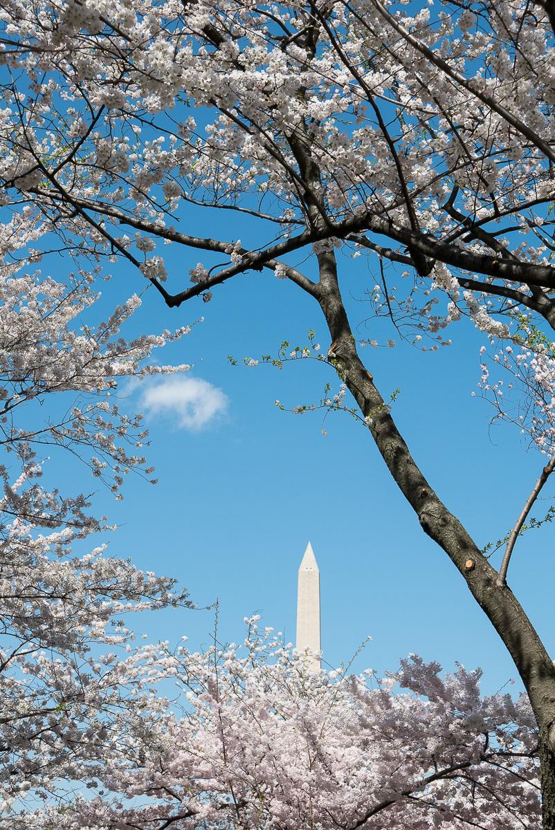 Le Washington Memorial à travers les cerisiers en fleurs