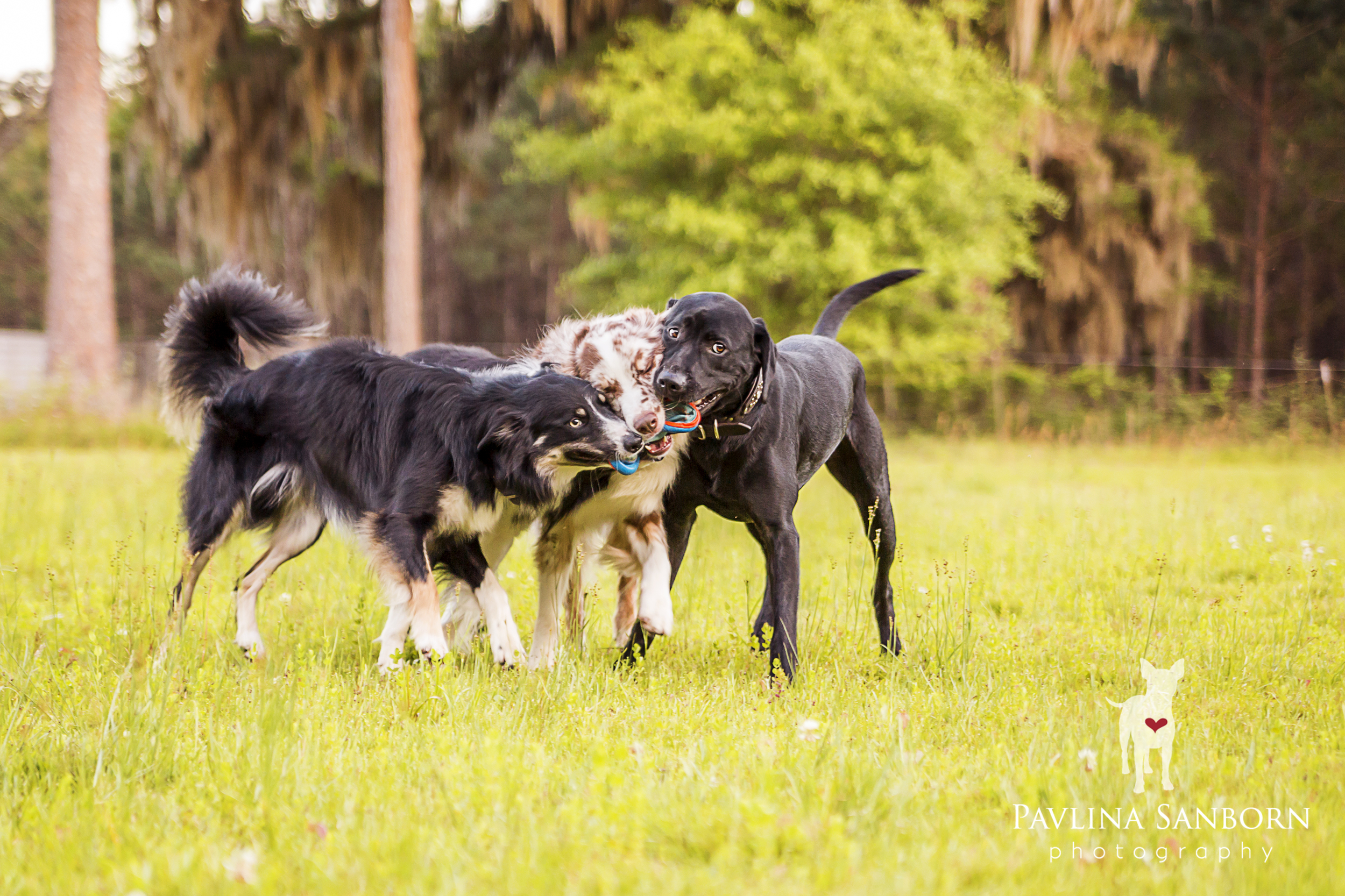 How many dogs does it take to retrieve Frisbee?