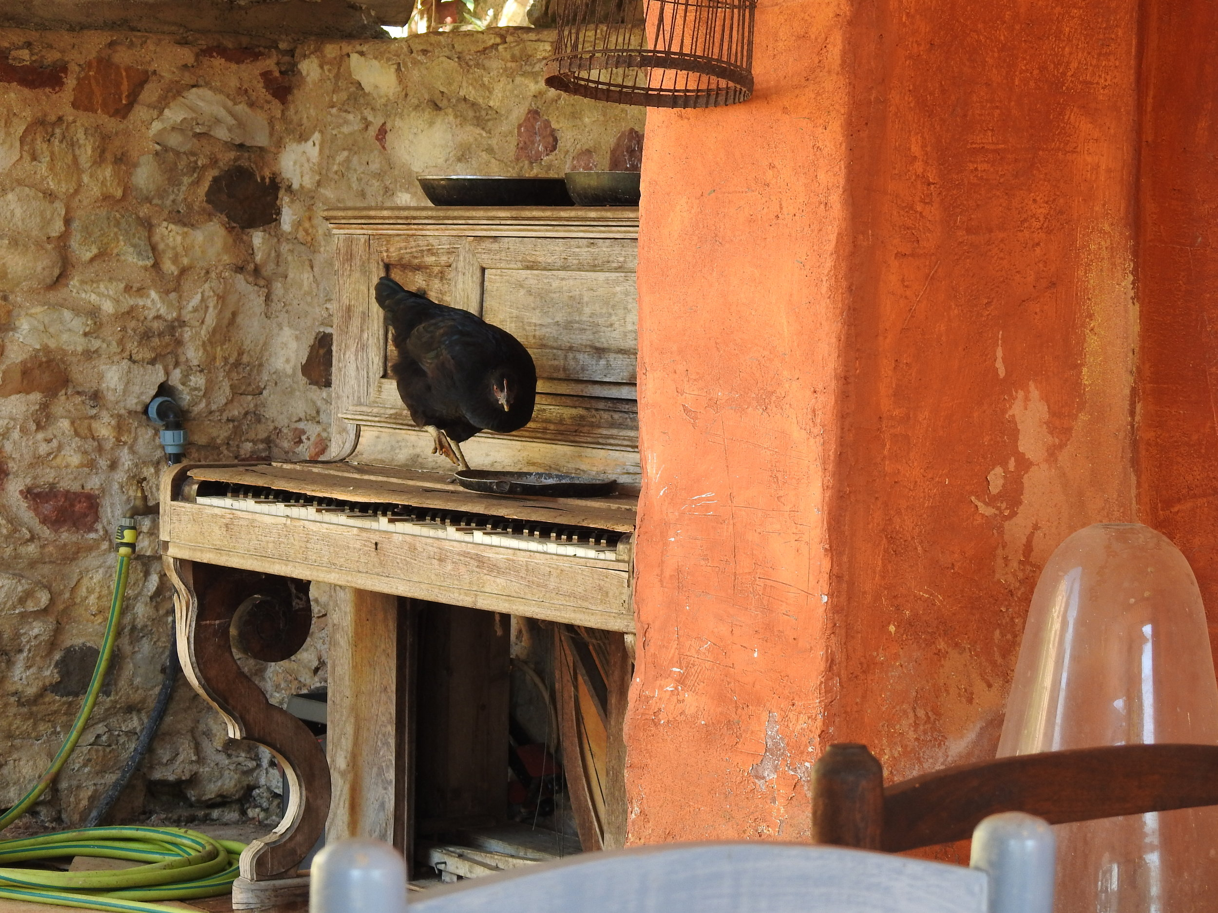 Chicken playing the piano