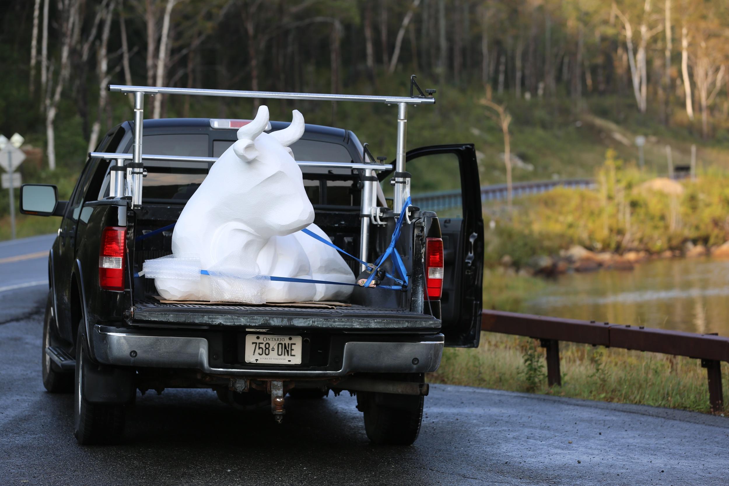 bull in truck.jpg