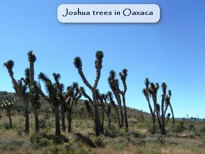 joshua trees.jpg