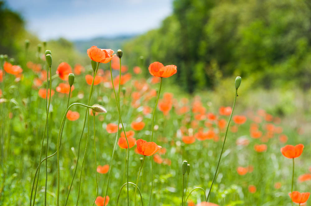Ozark Poppies