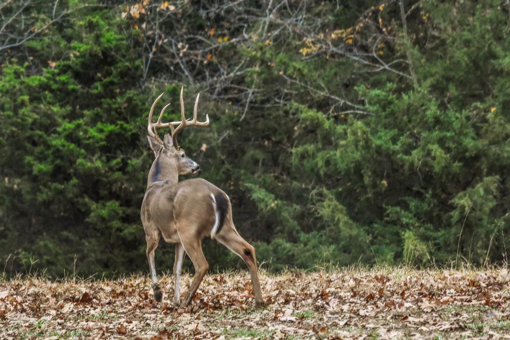 Ozark County Eastern White-tailed Buck