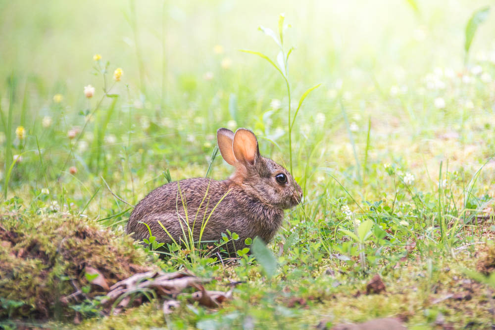 Ozark County Wild Rabbit