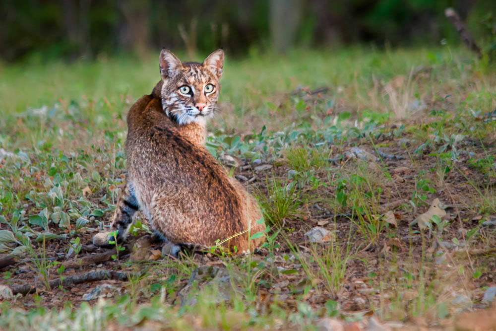Bobcat at Theodosia, Missouri