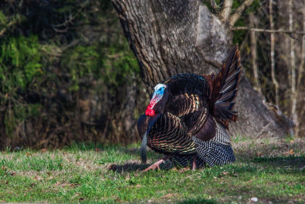 An eastern wild turkey gobbler displays iridescent colors.